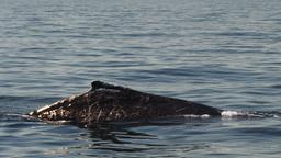 humpback whale Footage