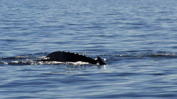 humpback whale tail Live Action