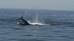 humpback whale tail slap Live Action