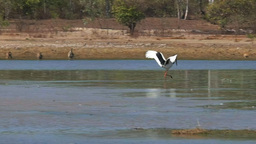 black-necked stork dancing Footage