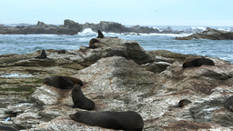 kaikoura fur seal colony Live Action