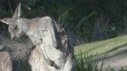 kangaroo scratching Footage