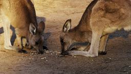 kangaroos feeding Footage