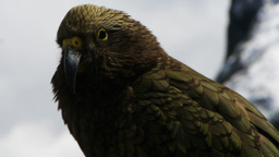 close up of a kea Footage
