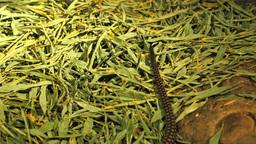 king cobra tail Footage
