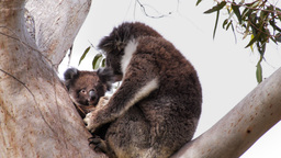koala joey and mother Footage