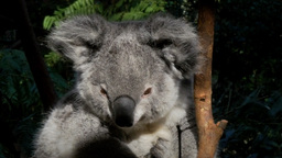sleepy koala Footage