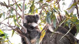 young koala Footage