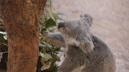 koala eating eucalyptus leaves Footage