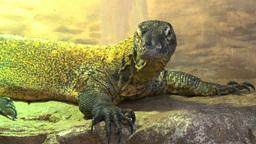young komodo dragon lizard Footage
