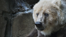 kodiak bear Stock Video Footage
