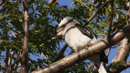 kookaburra Footage