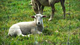 lamb and ewe Footage