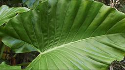 large leaves Footage