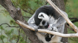 Lemur Grooming stock footage