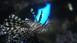 lionfish Footage
