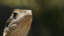lizard close up Footage