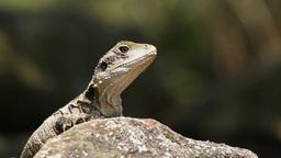 lizard Footage