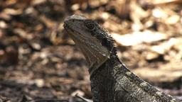 Australian lizard Footage