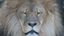 male lion close up Footage