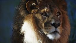 lion close up Live Action