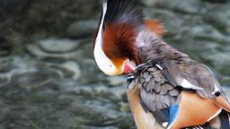 mandarin duck close up Footage