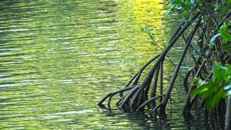 mangrove tree Footage