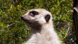 meerkat guard Footage
