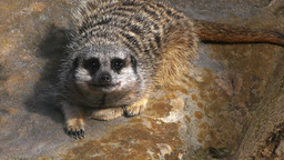 meerkat close up Footage