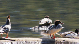common merganser ducks Footage
