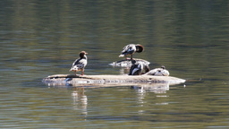merganser ducks Footage