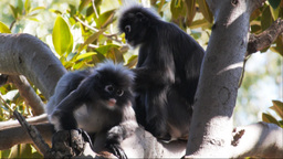 dusky leaf monkeys grooming Footage