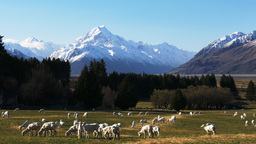mt cook and sheep grazing Footage