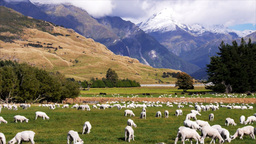 new zealand sheep station Footage