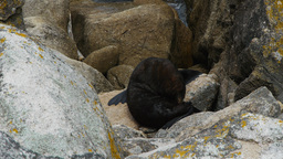 new zealand fur seal Live Action