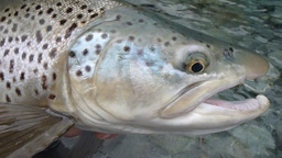 nz trout pan Footage