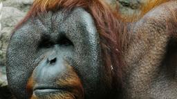 orangutan close up Footage