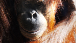 young orangutan scratching Footage