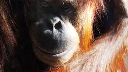 young orangutan scratching Footage