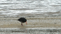 variable oystercatcher Footage