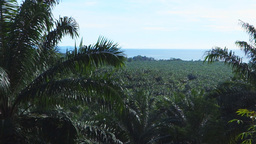 png palm oil plantation Footage