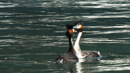 pair of grebes courting Footage