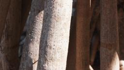pandanus roots closeup Footage