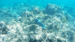 parrot fish hanauma bay Footage