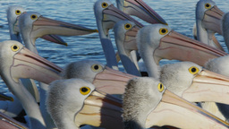 Pelican Flock Close Up stock footage