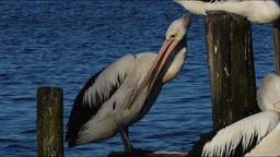 pelican Footage