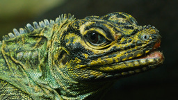 philippine sailfin lizard close up Footage