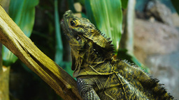philippine sailfin lizard Footage