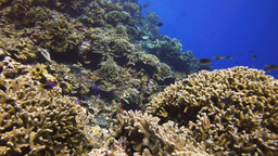 colourful coral reef fish Footage