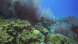 sea whips on coral reef Footage